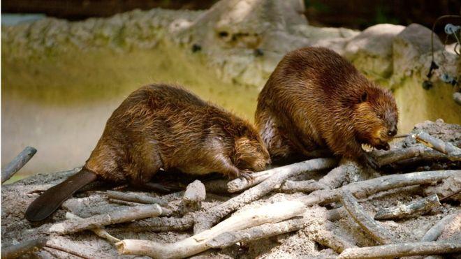 Los castores construyeron 70.000 diques en Tierra del Fuego